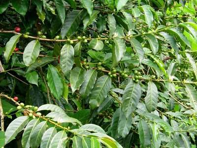 Papua New Guinea Single Origin